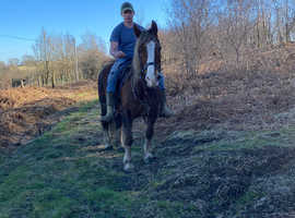 Super ride and drive Welsh mare