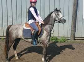 Top quality show pony