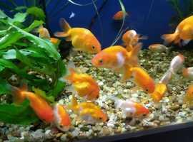 Hi for sale I have 3 black and orange fish