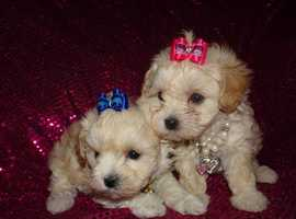 XXXXXXS Exquisite Apricot F1 Maltipoo Maltese X Toy Poodle Girl Puppies