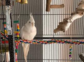 White Cockatiel for Sale