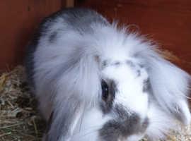 16 week old male lop rabbit for sale