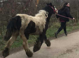 Lovely 10month filly to make 14'2 hh
