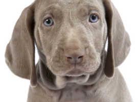 Want a boy Weimaraner puppy