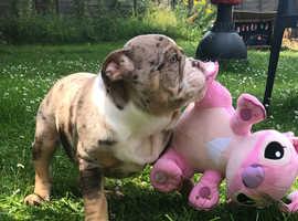 Old English bulldogge pups