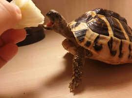 Amazingly beautiful Herman Tortoise for sale or exchange