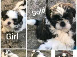 Beautiful Shihtzu pups for sale