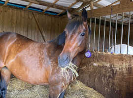 Beautiful Welsh part bred mare 15hh