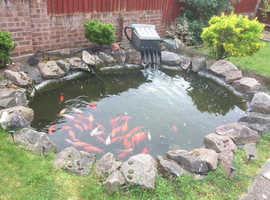Selection of goldfish from heathy pond prices £2 - £8
