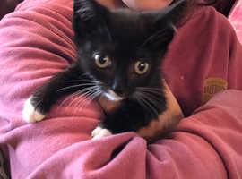 Snowshoe first cross kittens £150