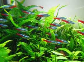 VARIOUS TETRAS & OTHER TROPICAL FISH VERY GOOD PRICES