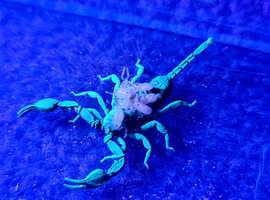 Yellow Tailed Scorpions ( Euscorpius flavicaudis)