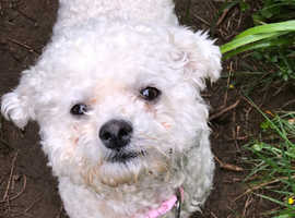 WANTED BICHON FRISE GIRL 6 mths or older