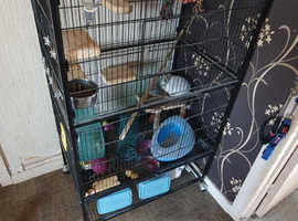 Dave the chinchilla is looking for a new loving home