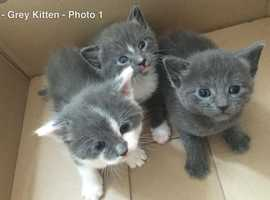 Wanted! Grey or grey with white female kitten