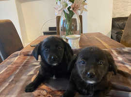Collie x Labrador pups
