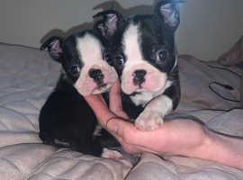 Wildax bloodline Boston terriers