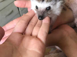 Female HEDGEHOGLOOKING FOR LOVING HOMES