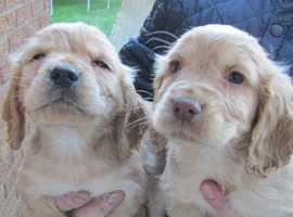 golden cocker dog pups