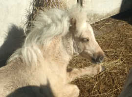 shetland palomino filly very good breeding born july 2018 stunning