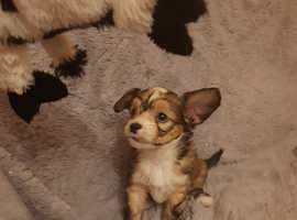 Sale 3 puppies chinese crested dogs fulffy all boys