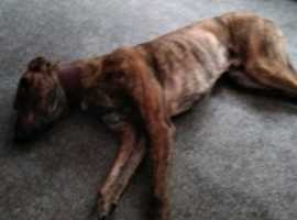 lurcher bull x looking for new home through no fault of his own