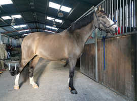14hh 4yr gelding section D