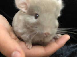 Ready now cute chinchilla baby boy