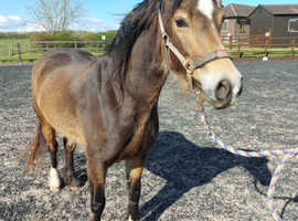 Stunning Chocolate Dun Welsh Section D Mare Approx 14hh 2017