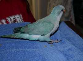 X Baby Blue Quaker Parrots X