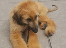 Sensational Afghan Hound Male Pup