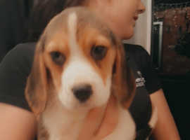 2 beautiful beagle puppy's for sale ready now
