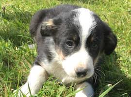 Collie X puppies