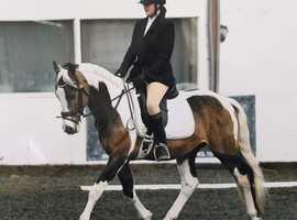 Muirdrum Cruz warmblood Stallion