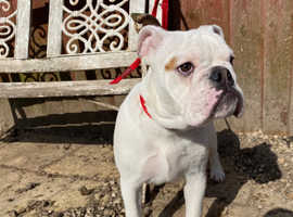 Wilson - KC reg English Bulldog