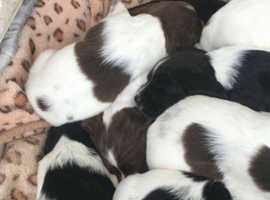 Beautiful spaniel pups ready now.