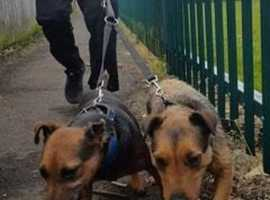 jagd terrier x lakey bitch 2 yrs old ex busher,,,£250 no offers