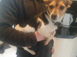 Miniture jack russel girl tri coloured 2 years old