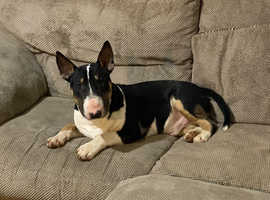 10 month old English bull terrier