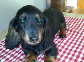 Dachshund Miniature Longhair Puppies!