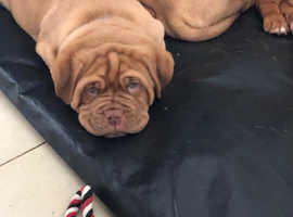 Kc Reg Dogue De Bordeaux Puppies
