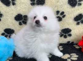 White Pomeranian x Spitz Puppy - Vet Checked & Vaccinated
