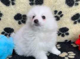 White Pomeranian x Spitz Puppy - Vet Checked & Vaccinated
