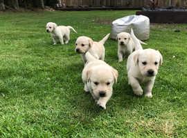 **Beautiful Goldador Puppies**