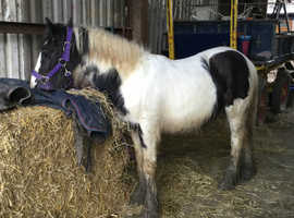 Very kind filly foal to make 14hh