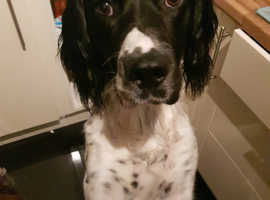 Beautiful Springer spaniel for stud NOT FOR SALE!!!!