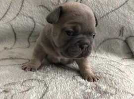 Kc registered French bulldog
