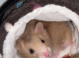 Syrian male dwarf hamster