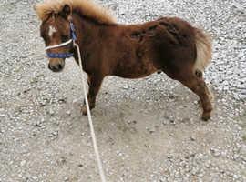 British spotted pony
