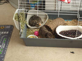 2 x Male guinea pigs (brothers)